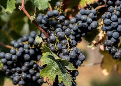 vigne-vin-de-taste-et-barrie